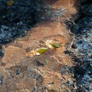 náušnice vavřín menší visací (zlato)