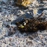 mini náušnice vavřín (zlato)